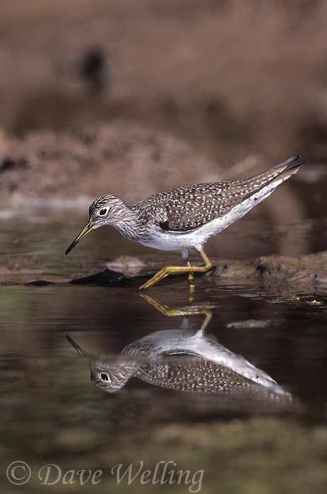 577388001 a wild adult solitary sandpiper tringa solitaria forages for food in a small pond in the rio grande valley of south texas united states