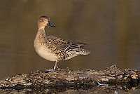 571350018 a wild female  northern pintail anas acuta in a shallow pond at colusa national wildlife refuge califonia