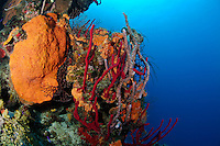 nr0461-D.  red Erect Rope Sponges (Amphimedon compressa), Orange Elephant Ear Sponge (Agelas clathrodes), Lavendar Rope Sponge (Niphates erecta). Belize, Caribbean Sea.<br /> Photo Copyright &copy; Brandon Cole. All rights reserved worldwide.  www.brandoncole.com