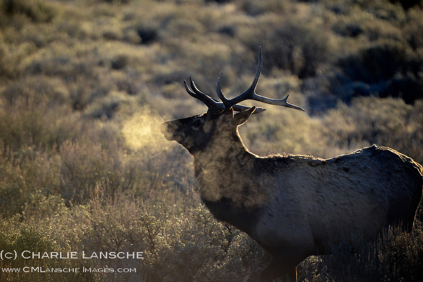 Elk breath on a chilly autumn morning.  Summit County, Utah. November 2012.