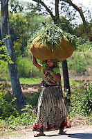 Indian woman carrying fodder for animal feed from fields in Agra, Uttar Pradesh, India