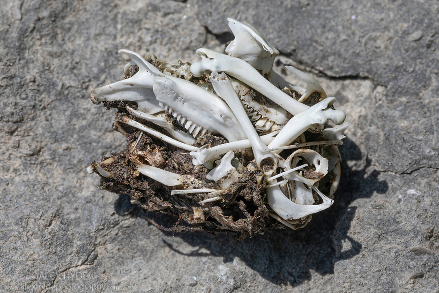Owl pellet showing various rodent bones. Peak District National Park, Derbyshire, UK. June.