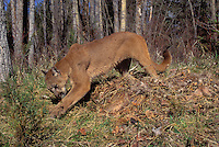 COUGAR/MOUNTAIN LION/PUMA..Female caching a whitetailed deer carcass. Predator/Prey..Rocky Mountains. (Felis concolor).