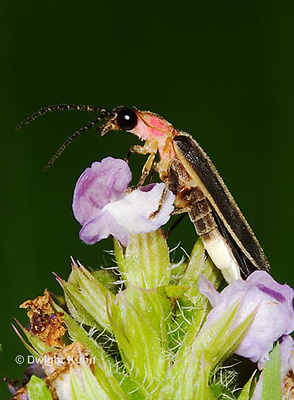 1C24-756z  Pyralis Firefly - Lightning Bug - Male - Photinus spp.