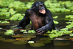 Bonobo mature male wading through water for food (Pan paniscus), Lola Ya Bonobo Sanctuary, Democratic Republic of Congo.