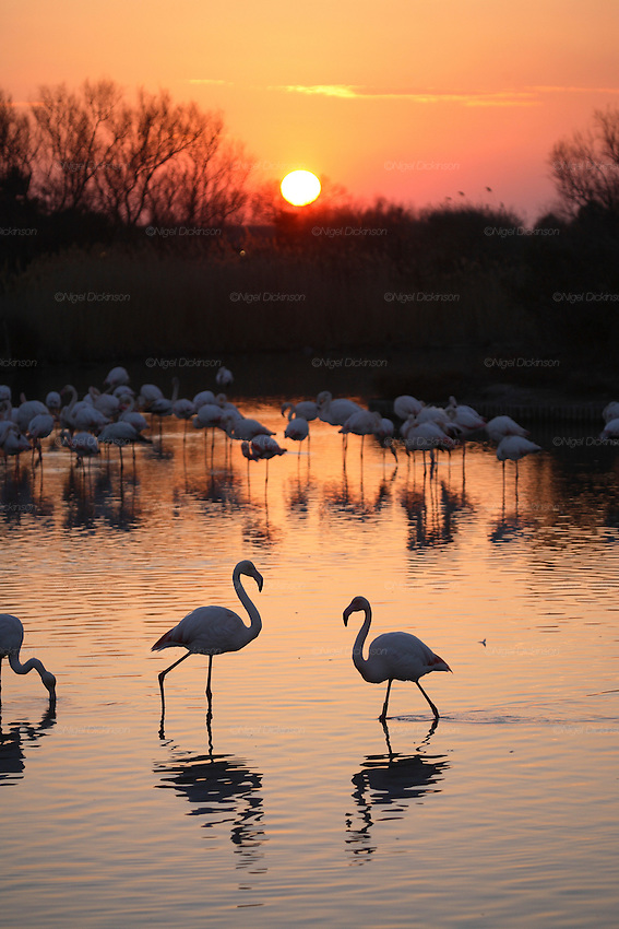 "FLAMINGOES, Camargue. Sunset. France, Provence, wildlife park and nature reserve, swampland region between Arles and Saintes Maries de la Mer. Many wild birds especially known for thousands of pink flamingoes migrating and living there all year around. Fears of bird  flu arrival with migrating birds from overseas. ..Important notice: Caption must include ""Parc Ornithologique du Pont de Gau © Nigel Dickinson"""
