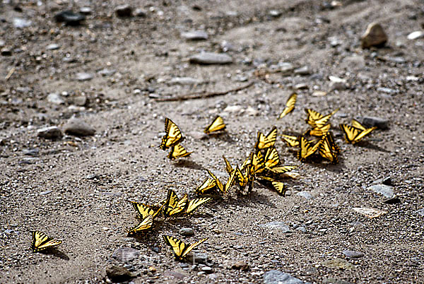 Canadian yellow tiger swallowtail butterflies puddling, papilio glaucus canadensis