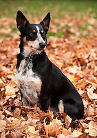 Australian Cattle dog mix sitting up in apile of fall leaves