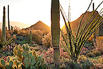 Saguaro, Prickly Pear and Ocotillo cacti in the Sonoran Desert in Saguaro National Park - Tucson Mountain District in Tucson, AZ, USA