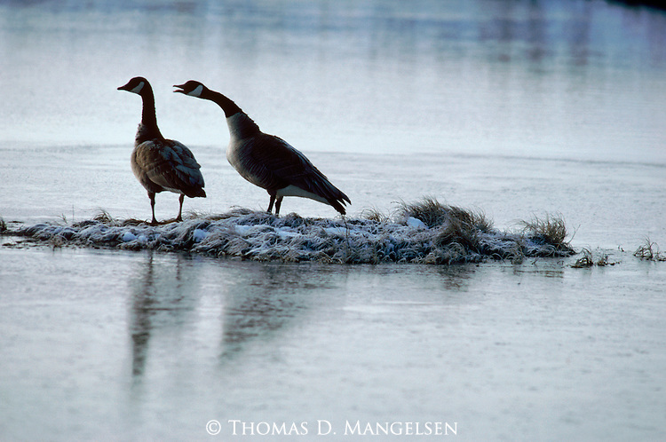 A canada goose honks to the other as they stand on a island.