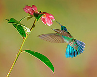 Mexican violetear (Colibri thalassinus) in flight, drinking nectar at a pink flower, Costa Rica, Central America