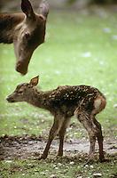 Rothirsch, Rot-Hirsch, Rotwild, Edelwild, Edelhirsch, Hirsch, Weibchen, Kuh, Hirschkuh direkt nach der Geburt eines Kalbes, Cervus elaphus, red deer