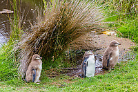 yellow-eyed penguin, Megadyptes antipodes, chicks, replacing their downy feathers outside Dunedin, South Island, New Zealand