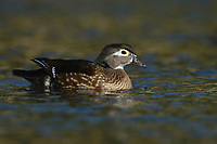 Wood Duck (Aix sponsa), adult female, Hill Country, Central Texas, USA