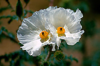 Close up of a Prickly Poppy (Argemone polyanthmos, Family - Papaveraceae), a toxic plant. Arizona.