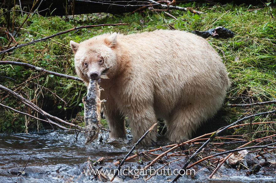 Adult Spirit Bear or Kermode Bear (Ursus americanus kermodei) - white morph of the black bear- by stream fishing for salmon. Gribbell Island, Great Bear Rainforest, British Columbia, Canada