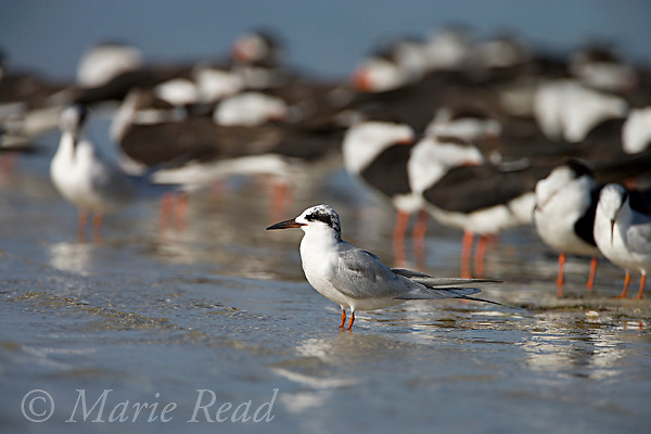 Forster's Tern (Sterna forsteri), nonbreeding plumage, with flock of Black Skimmers (Rynchops niger) in the background, Fort DeSoto Park, Florida, USA
