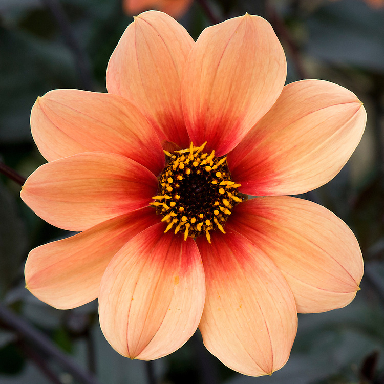 Dahlia 'Happy Single Date', early September.