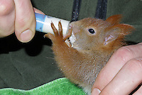 Eichhörnchenaufzucht