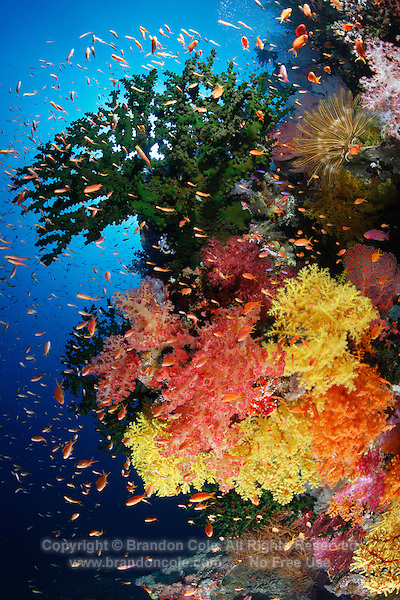 qe0097-D. soft corals (Dendronephthya sp. and Chironephthya sp.), branching cup corals (Tubastraea micrantha) and Scalefin anthias (Pseudanthias squammipinnis) fish along wall, 80 feet deep. Fiji, tropical Pacific Ocean..Photo Copyright © Brandon Cole. All rights reserved worldwide.  www.brandoncole.com..This photo is NOT free. It is NOT in the public domain. This photo is a Copyrighted Work, registered with the US Copyright Office. .Rights to reproduction of photograph granted only upon payment in full of agreed upon licensing fee. Any use of this photo prior to such payment is an infringement of copyright and punishable by fines up to  $150,000 USD...Brandon Cole.MARINE PHOTOGRAPHY.http://www.brandoncole.com.email: brandoncole@msn.com.4917 N. Boeing Rd..Spokane Valley, WA  99206  USA.tel: 509-535-3489
