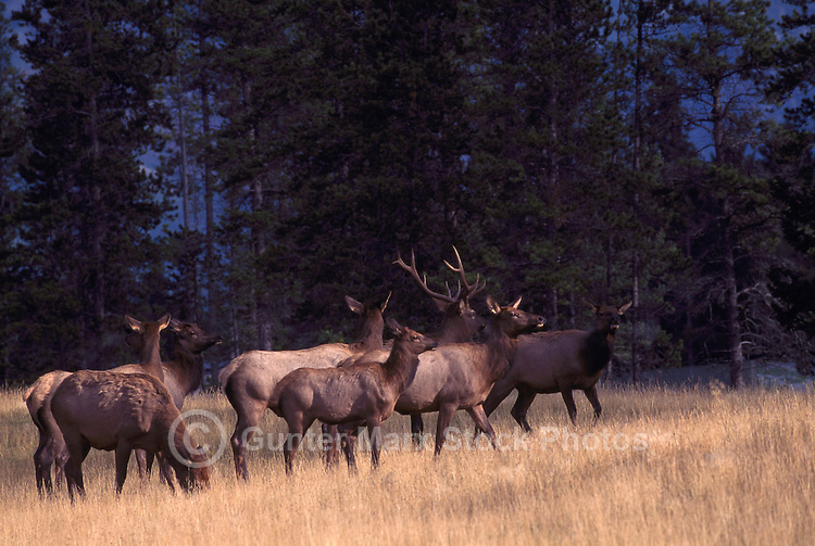 Banff National Park, Canadian Rockies, AB, Alberta, Canada - Bull Elk, Wapiti (Cervus canadensis) rounding up Harem near Banff