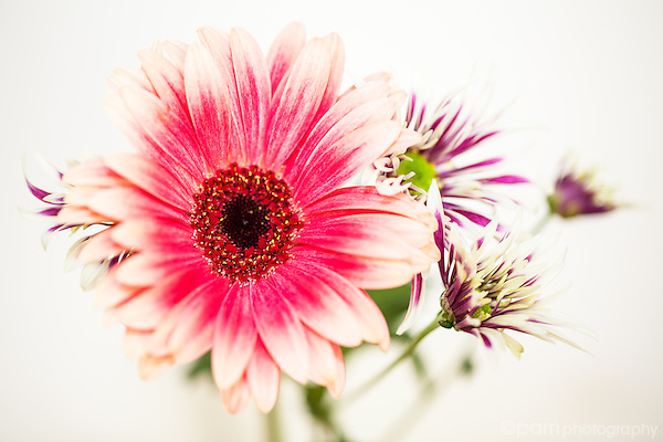 Pink and white Gerber daisy with purple and white daisies