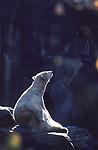 Polar Bear at Bronx Zoo in March, 1973. Photograph by Jim Peppler. Copyright Jim Peppler 1973.