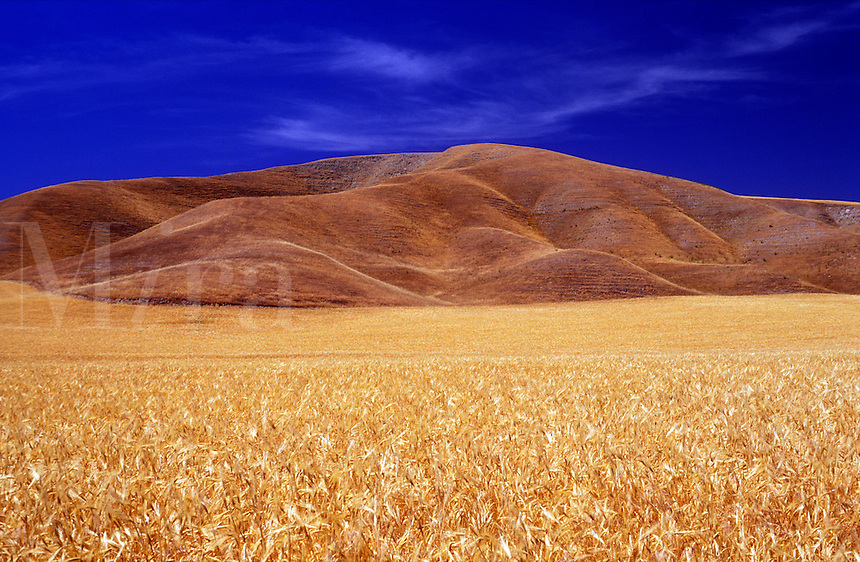 USA, California, Paso Robles, wheat field