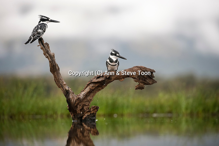 Pied kingfishers (Ceryle rudis), Zimanga private game reserve, KwaZulu-Natal, South Africa, April 2017