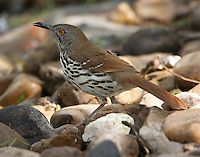 Adult long-billed thrasher at edge of pool