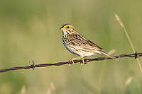 Adult Savannah Sparrow (Passerculus sandwichensis) on fence. Southeast Alberta, Canada. May.
