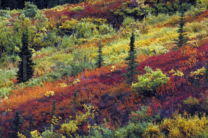 Fall color on hillside. Alaska USA Denali National Park.