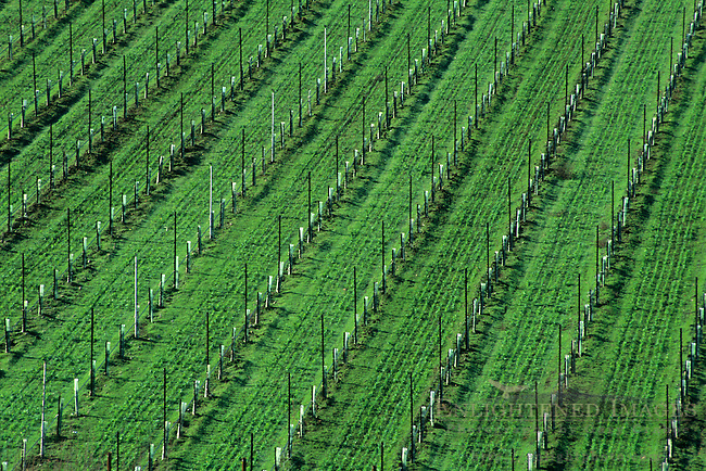 New vineyard in winter near Redwood Valley, Mendocino County, California