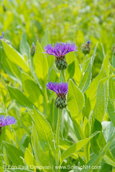 Brown Knapweed-Centaurea jacea-during the spring months in the White Mountains, New Hampshire  USA. .Notes: