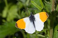 Aurorafalter, Männchen, Aurora-Falter, Anthocharis cardamines, orange-tip, male, L'Aurore, Piéride du cresson, Weißlinge, Pieridae