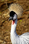 DURBAN - 16 September 2005 - The Grey Crowned Crane (Balearica regulorum) is a bird species endemic to South Africa and which is endangered. This particular bird is resident at Durban's Mitchell Park. Picture: Giordano Stolley