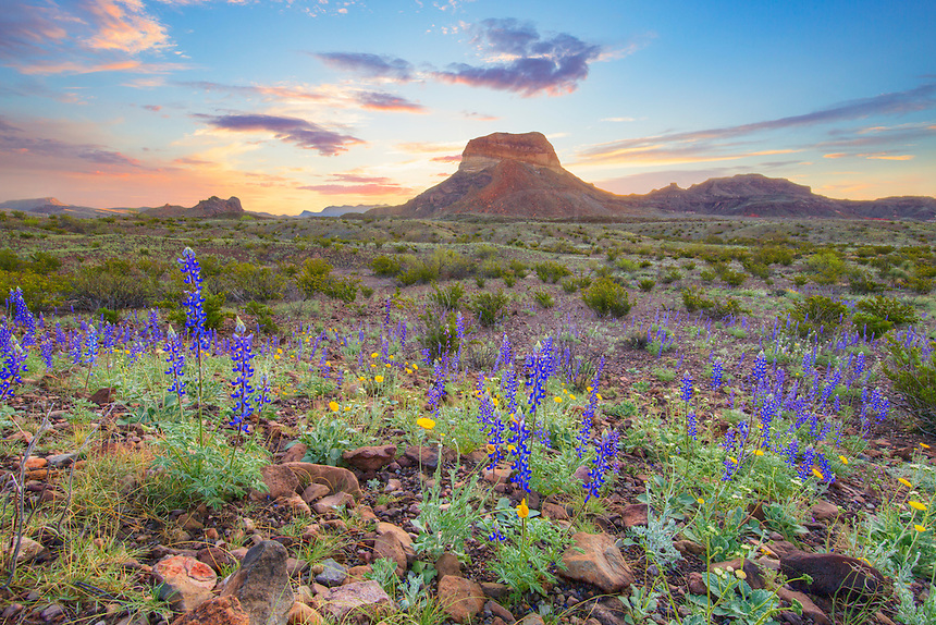 Sunrise brings light and warmth to a cool morning on the western slopes of the Chisos Mountains in Big Bend National Park. In the foreground, the Big Bend version of the bluebonnet enjoys a calm and peaceful morning in this rugged Texas landscape.