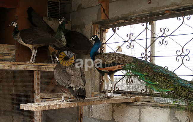 A peacock stands with his peahens at a local breeding farm in Khan Younis in the southern Gaza Strip, May 5, 2015. Male peacocks display and shake its tail feather to attract attention to female peahens during courtship. Photo by Abed Rahim Khatib
