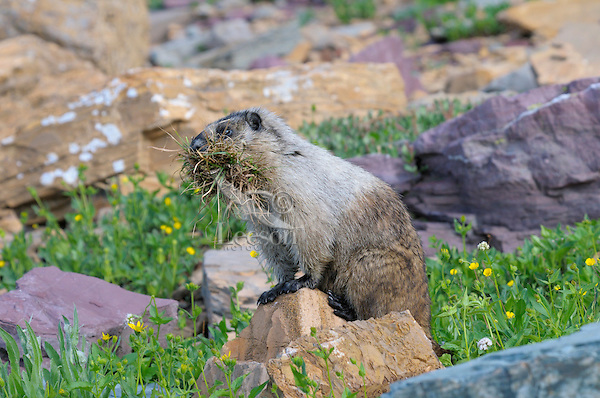 Hoary Marmot (Marmota caligata), Glacier National Park, Montana.  Summer.