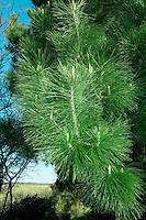 Monterey Pine Pinus radiata (Pinaceae) HEIGHT to 45m <br /> Large, variable pine, slender and conical when growing vigorously, becoming more domed and flat-topped on a long bole with age. BARK Fissured and grey, blackening with age. BRANCHES Main ones sometimes hang low enough to touch ground. LEAVES Bright-green needles in bunches of 3; each needle is thin and straight, to 15cm long, with a finely toothed margin and harp-pointed tip. REPRODUCTIVE PARTS Male flowers grow in dense clusters near ends of twigs, releasing pollen in spring. Female cones grow in clusters of 3&ndash;5 around tips of shoots, ripening to large, solid woody cones, to 15cm long and 9cm across, with a characteristic asymmetrical shape. Cone scales are thick and woody with rounded outer edges, and conceal black, winged seeds. STATUS AND DISTRIBTUION Native to a small area around Monterey, California, Guadalupe Island and Baja California, Mexico. Widely planted here in mild areas as a shelter-belt tree or for ornament, growing well next to the sea.