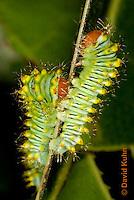 0912-0810  Oculea Silkmoth Caterpillar, 2nd Instar, Oculea Silkmoth, Antheraea oculea © David Kuhn/Dwight Kuhn Photography.