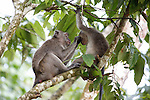 Two long-tailed macaques are seen in a tree along the Kinabatangan River on Monday April 29th 2013 in Bilit, Malaysia. (Photo by Brian Garfinkel)