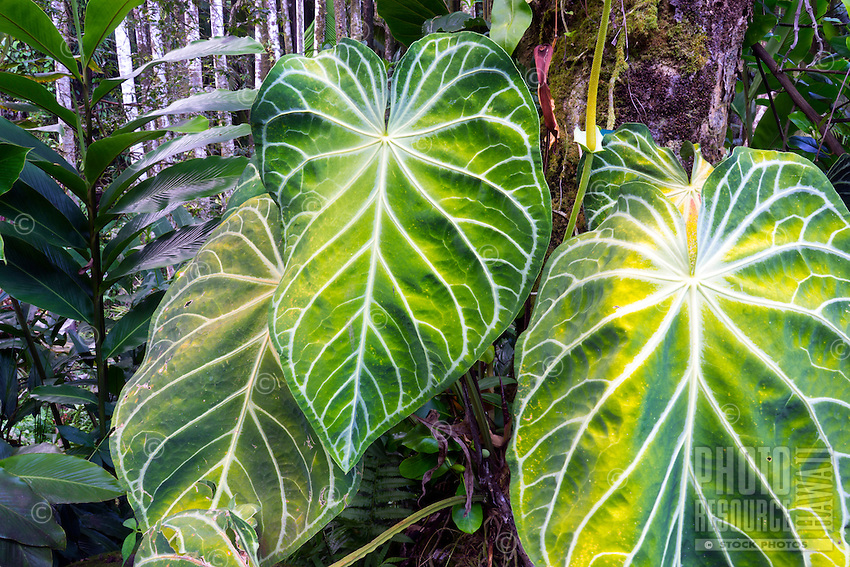 Broad green and white leaves in a Big Island botanical garden.