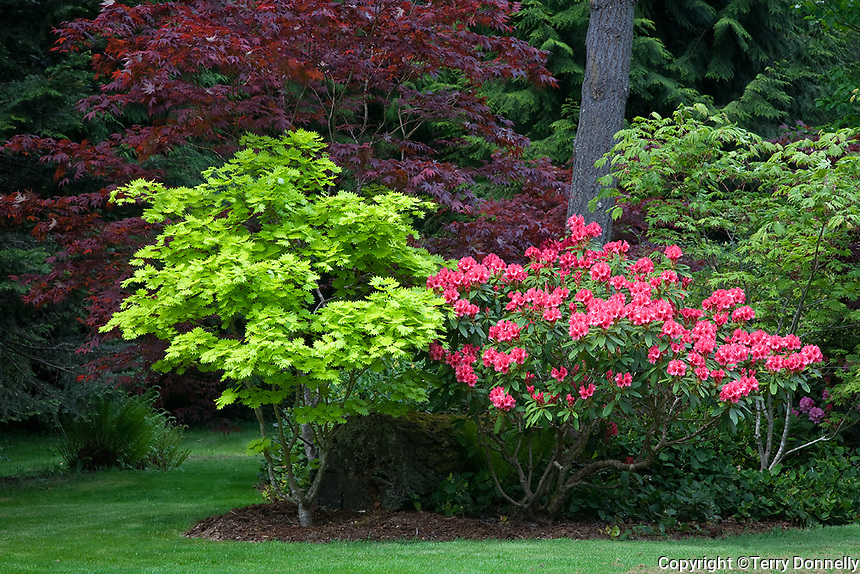 Vashon Island, WA<br /> Pacific northwest garden at the forest edge with pink rhododendron (R. 'Cary Ann') and colorful maples (A. palmatum 'Bloodgood', A. sh. 'Aurem' Golden Full Moon, and Acer japonicum acontifolium)