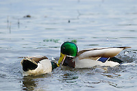 MALLARD DUCK (Anas Platyrhynchos) drakes engaged in dominance behavior.