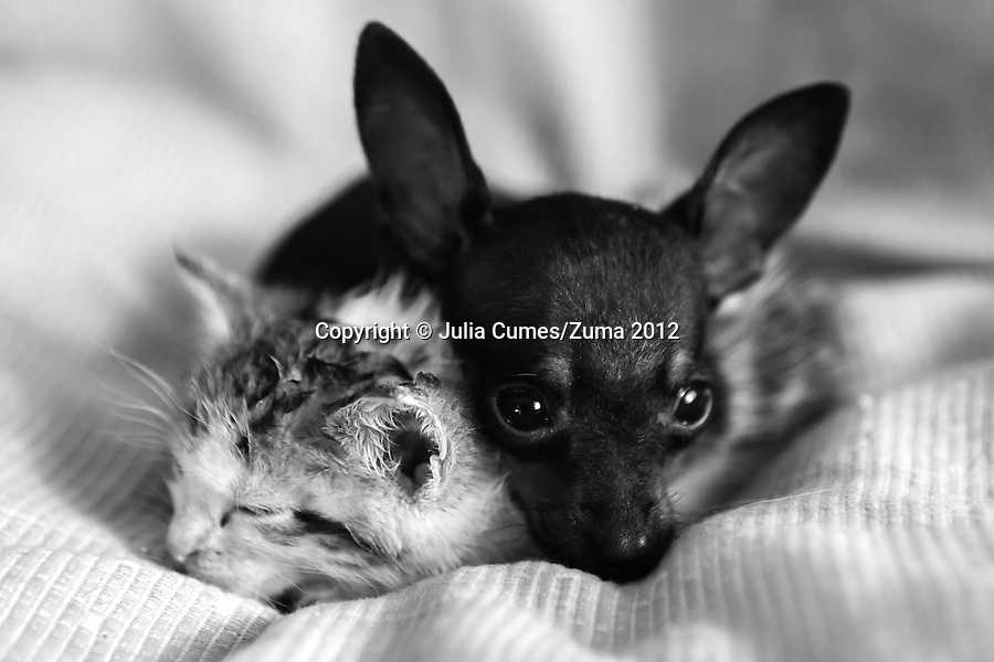 Adopted Chiwawa, Fyglia and an orphaned kitten snuggle up together at CLAW (Community Led Animal Welfare) director, Cora Bailey's house in Florida, South Africa. The International Fund for Animal Welfare's CLAW program, which Bailey founded, provides veterinary services to cats and dogs in some of the poorest shantytowns outside of Johannesburg, South Africa.  2/23/12 Julia Cumes/Zuma