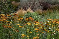 Achillea millefolium 'Terra Cotta', flowering perennial yarrow in meadow, lawn substitute  in the Xeric Garden at Rio Grande Botanic Garden