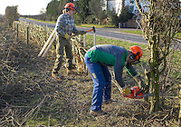 Contractors Julian Gibson and Neville Peak tackling a 500 metre stretch of hedge on Ben and Charlotte Hollins' organic Fordhall Farm, Market Drayton, Shropshire. The Hawthorn hedge is being layed in the Shropshire/Welsh border style.