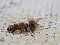 Two Apis mellifera Carnica bees feeding on honey. The bees of the carnica subspecies originated in Slovenia./ Deux abeilles Apis mellifera Carnica mange du miel. Les abeilles de sous-espèces carnica sont originaires de Slovénie.