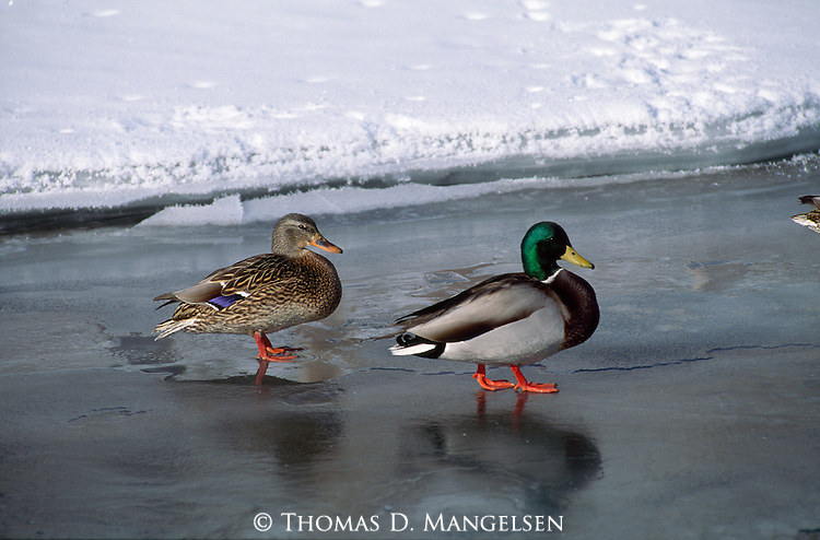 A female mallard and her mate choose a nest sight as they walk along a frozen creek on the National Elk Refuge in Jackson Hole, Wyoming.